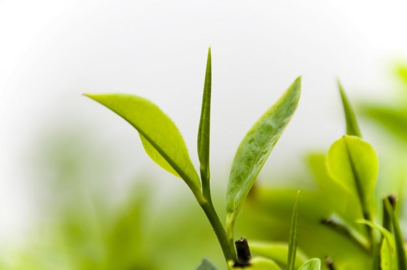 Trà xanh hỗ trợ sức khỏe dạ dày
