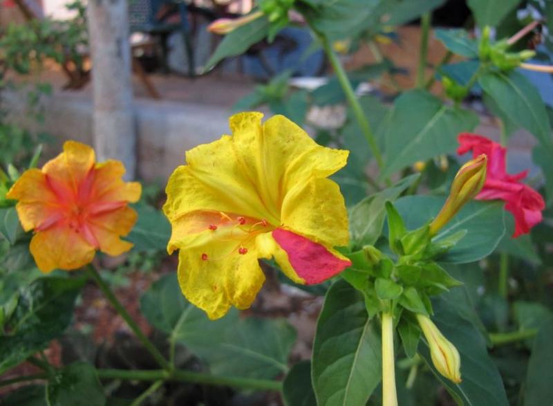 Tại Việt Nam, loài hoa này còn được biết tới với tên thường gọi là hoa phấn hay yên chi.