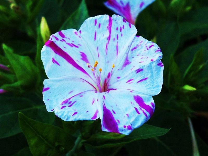 Loài hoa tỏa ra mừi hương dễ chịu nhất toàn cầu.