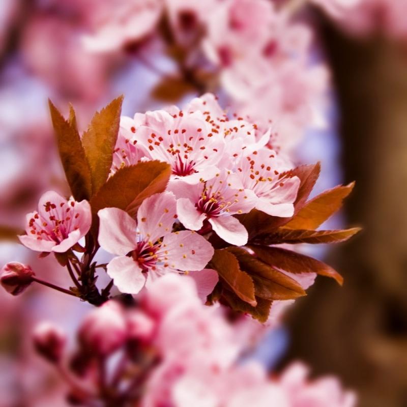 Anh đào mùa xuân tại Nhật Bản