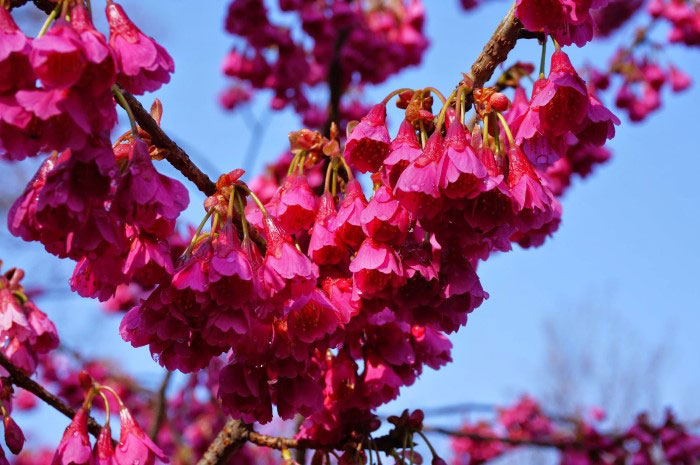 Hoa anh đào Kanhizakura