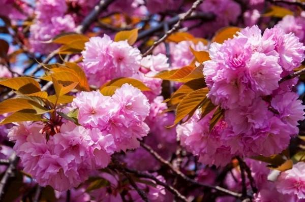Hoa anh đào Kazan
