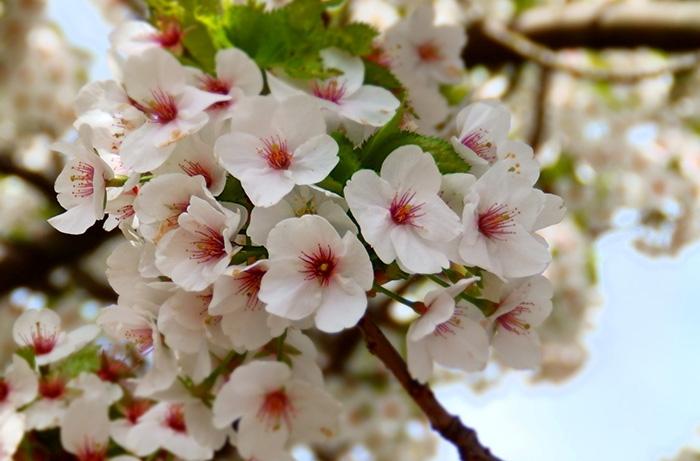 Hoa anh đào Someiyoshino (Anh Đào Yoshino)