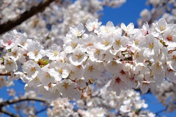 Hoa anh đào Takato Kohigan