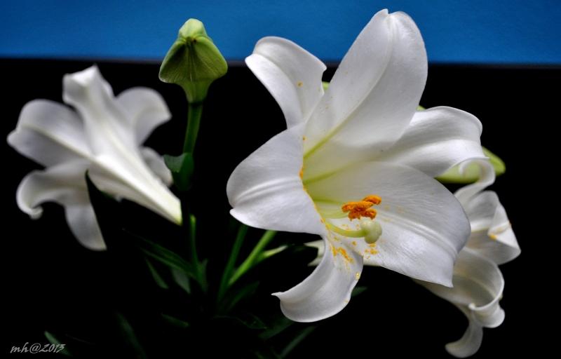 Những cánh hoa trắng kiêu hãnh khoe sắc ngày đầu xuân.