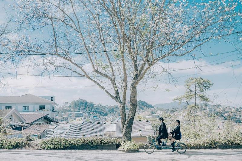Phong cảnh lãng mạn tại khu vực Hoa ban trắng Đà Lạt