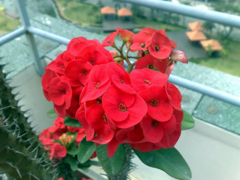 Hoa bát tiên