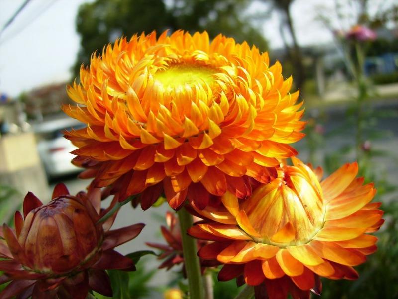 Hoa bất tử loài hoa đại diện cho tình yêu kiên định trước sau như một