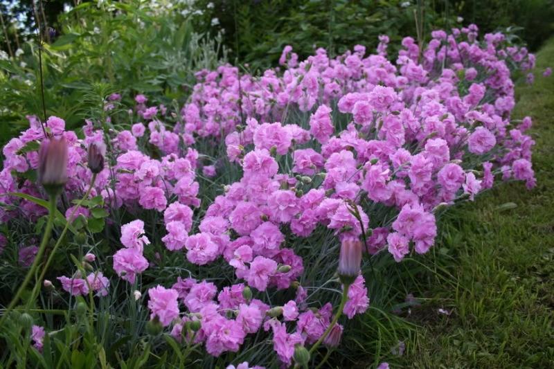 Hoa cẩm chướng với sắc tím nhẹ nhàng