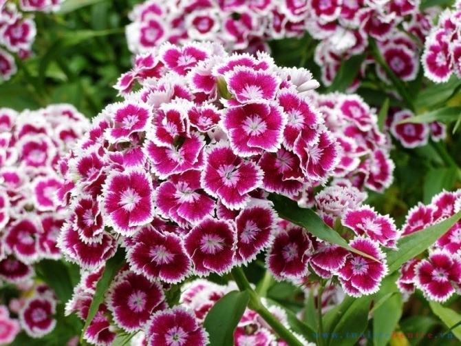 Hoa cẩm chướng - loài hoa đa cảm