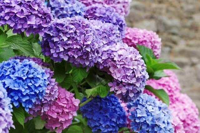 Hoa cẩm tú cầu cũng là lựa chọn phù hợp cho ngày lễ tình nhân