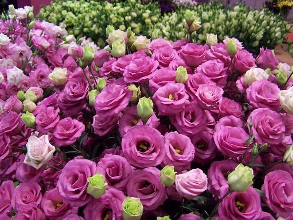 Hoa cát tường là hoa vượng tài, hoa mang lại may mắn tài lộc cho gia chủ.