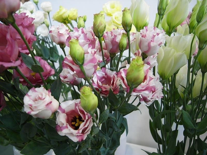 Những cánh hoa thanh lịch, trang nhã mỏng manh khoe sắc trong dịp xuân sang.