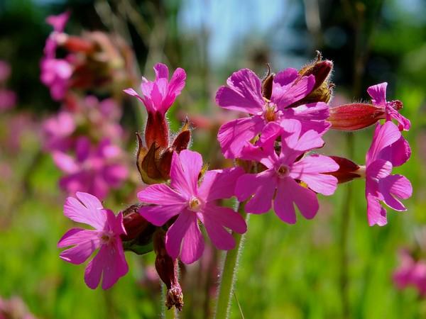 Hoa Champion được coi là một trong những loài hoa hiếm và đẹp trên thế giới