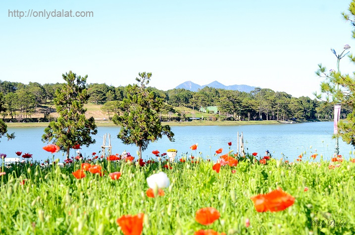 Hoa Colico bên bờ hồ Hồ Xuân Hương
