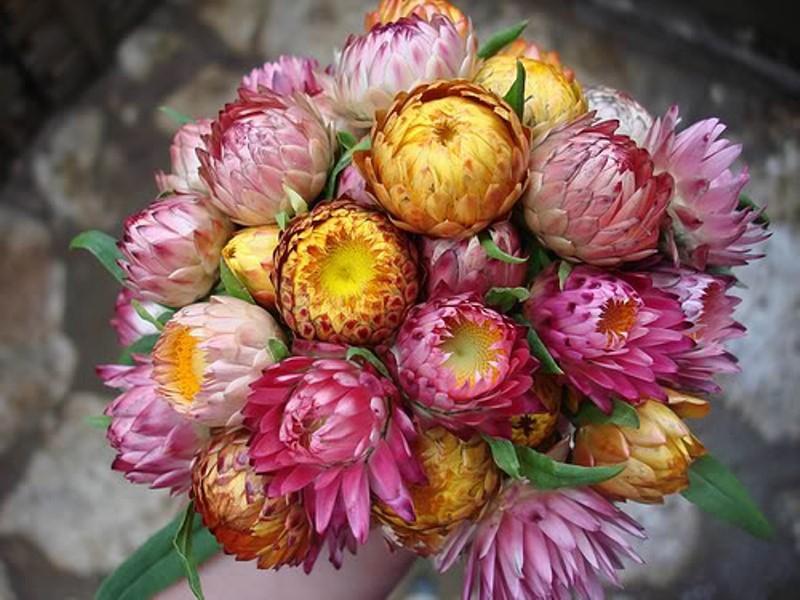 Hoa bất tử.