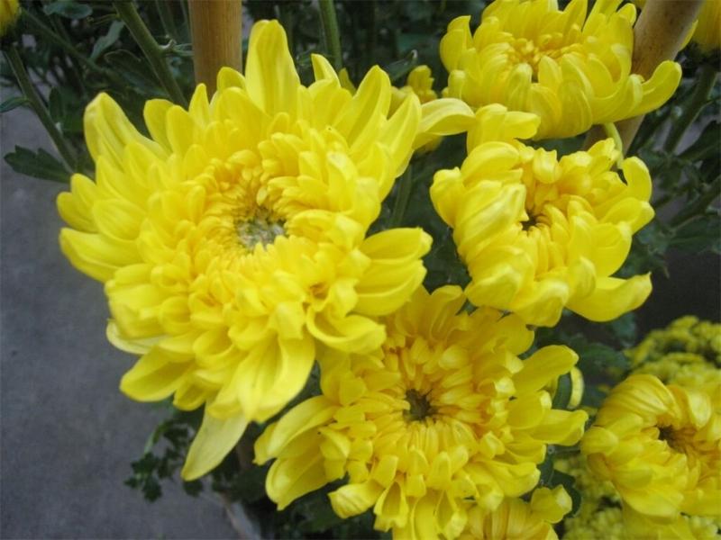 Hoa cúc vàng là bài thuốc dân gian chữa đau răng vô cùng đơn giản