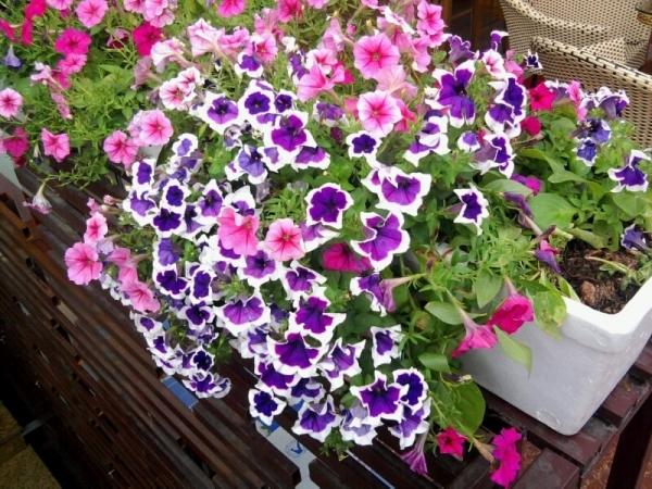 Hoa dạ yến thảo mang sắc tím dịu dàng