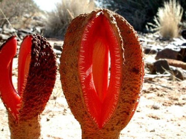 Loài hoa được cho là có hình dáng nhạy cảm