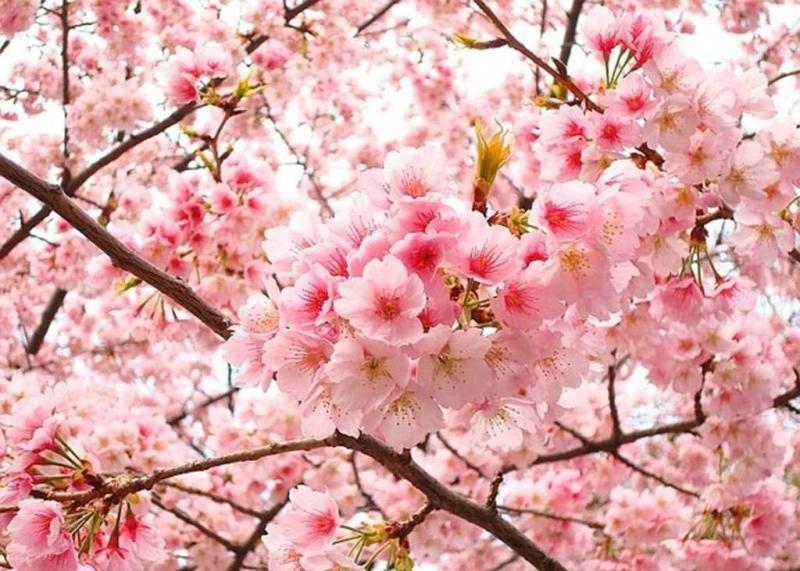 Sắc hoa đào rực rỡ ngày xuân
