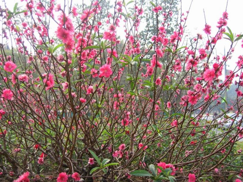 Là loài hoa không thể thiếu và phổ biến nhất trong dịp Tết nguyên đán