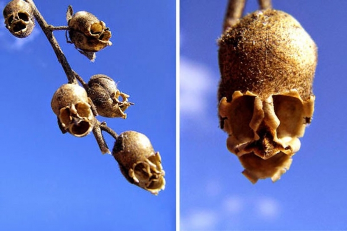 Hoa đầu lâu xương sọ