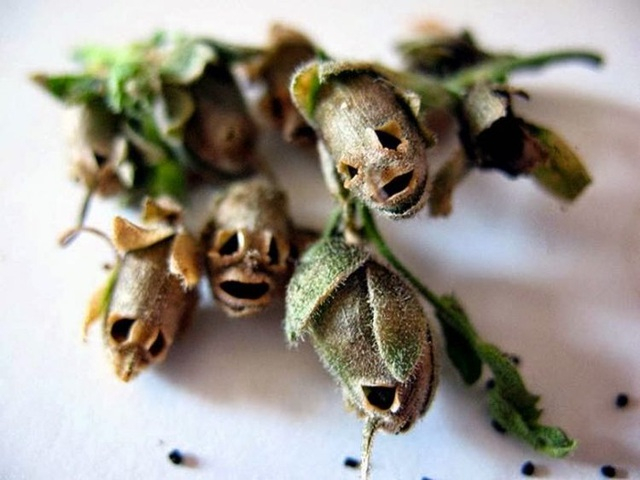 Khi chúng héo đi, các hạt sẽ rơi ra để lại hình dáng chiếc đầu lâu xương sọ đáng sợ.
