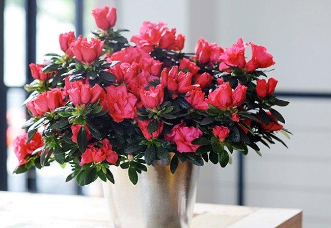 Hoa đỗ quyên thanh lọc không khí