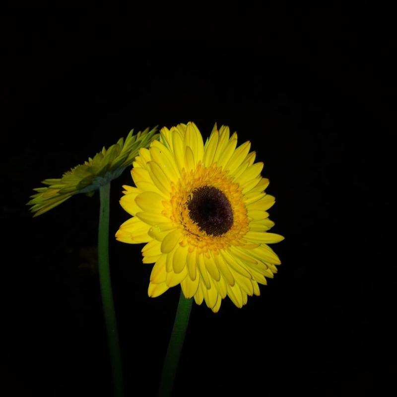 hoa Đồng Tiền vàng trong đêm