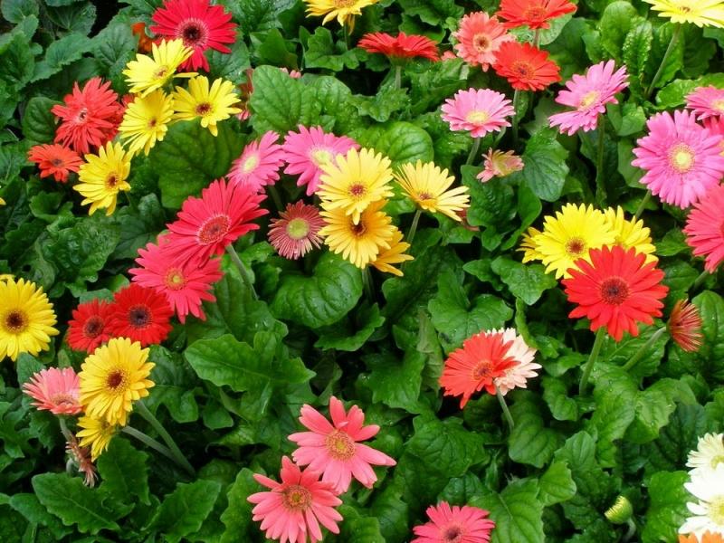 Những bông hoa đồng tiền rực rỡ sắc màu tươi sáng