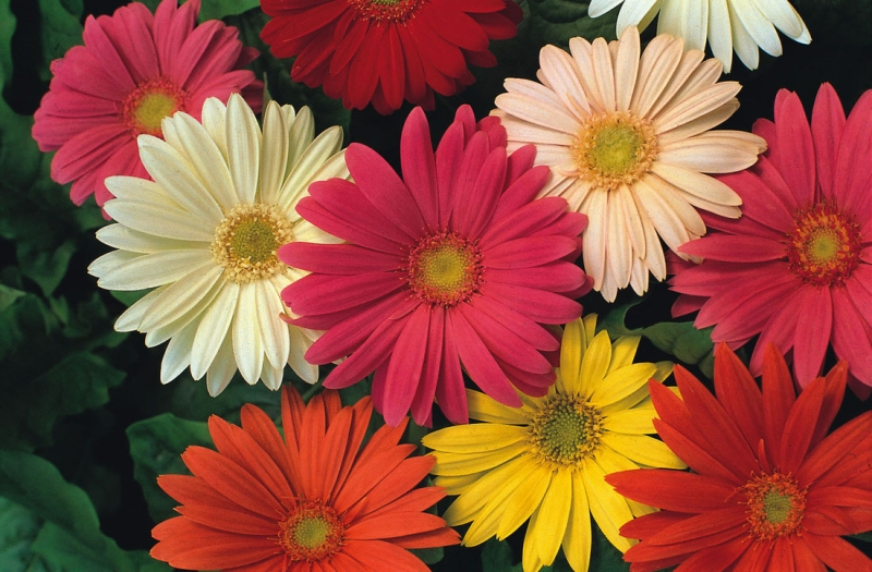 Loài hoa tượng trưng cho tiền tài và sự phát lộc những ngày đầu năm mới.