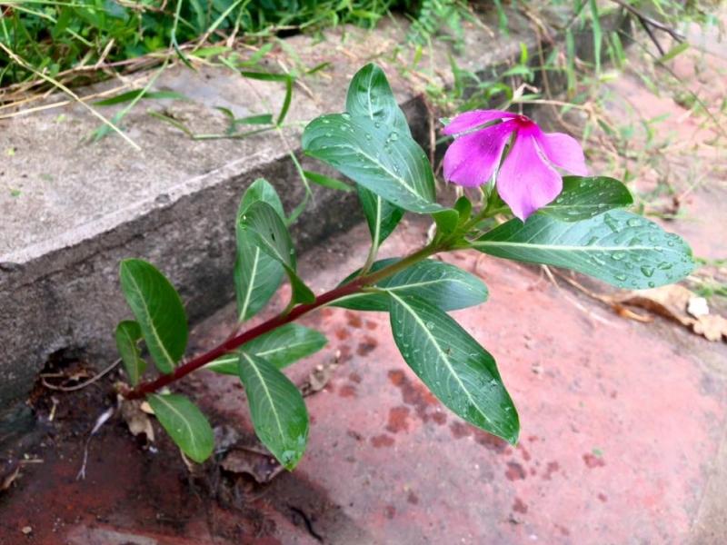 Hoa dừa nước