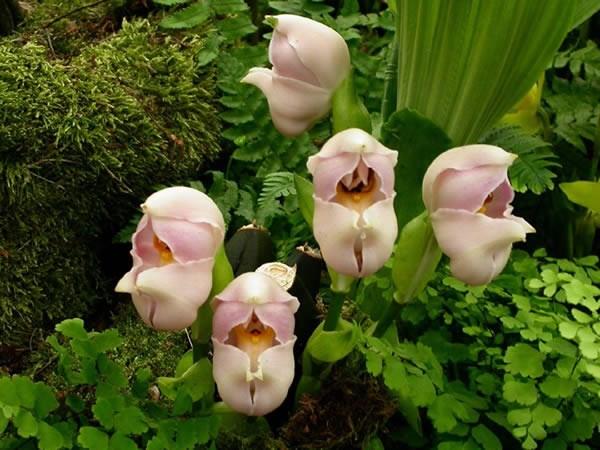 Hoa có mùi thơm ngọt rất dễ chịu, thu hút nhiều loài côn trùng đến thụ phấn.
