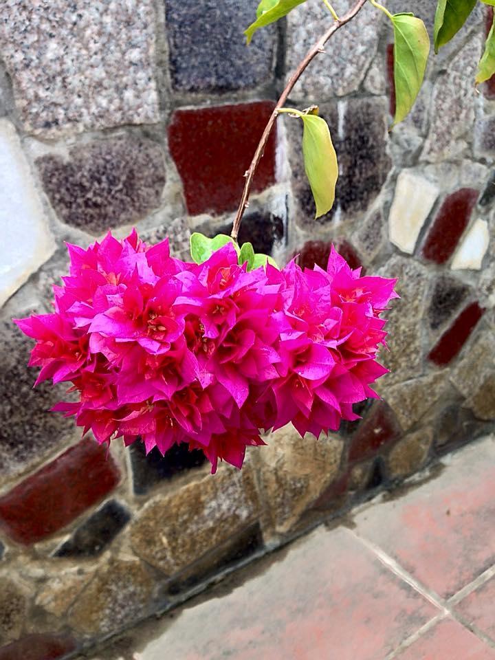 Chùm hoa Giấy