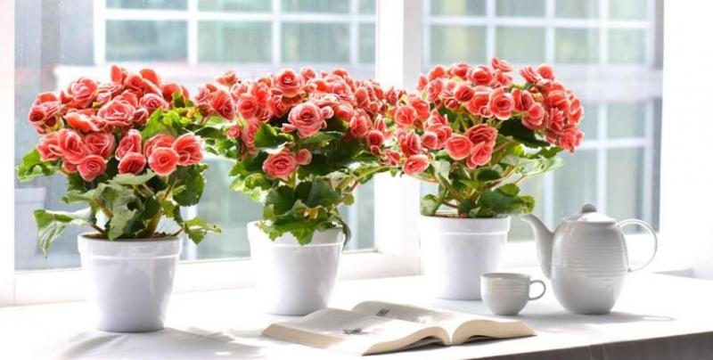 Hoa hải đường là loài hoa tượng trưng cho mùa xuân.