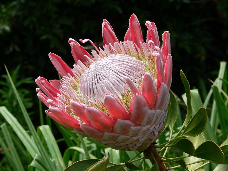 Neelakurinji là biểu tượng của tình yêu và sự lãng mạn.