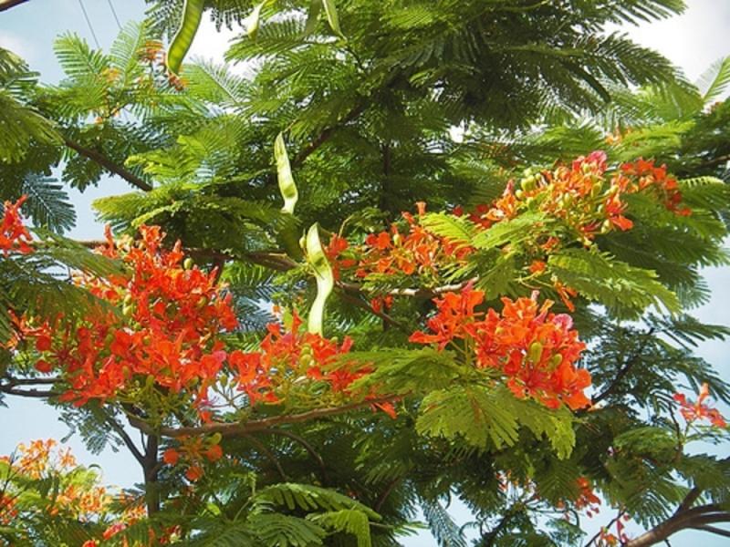Trên cành cây bắt đầu xuất hiện những trái phượng non dài và mỏng cũng là lúc mùa hè sắp qua