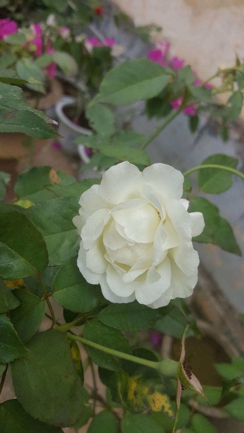 Hoa hồng bạch chưng đường phèn