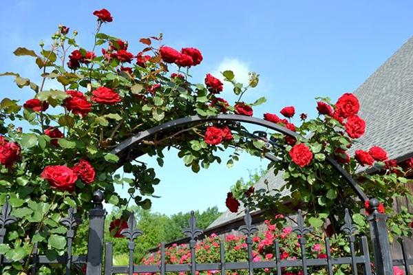 Hồng leo Hải Phòng tạo thành một vòm hoa tuyệt đẹp - Nguồn: Internet