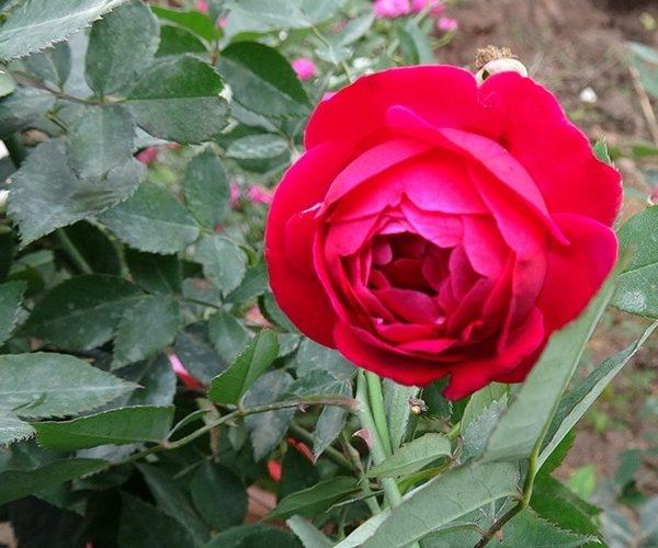Hồng quế son cổ thơm là đặc trưng của xứ Huế mộng mơ - Nguồn: Internet