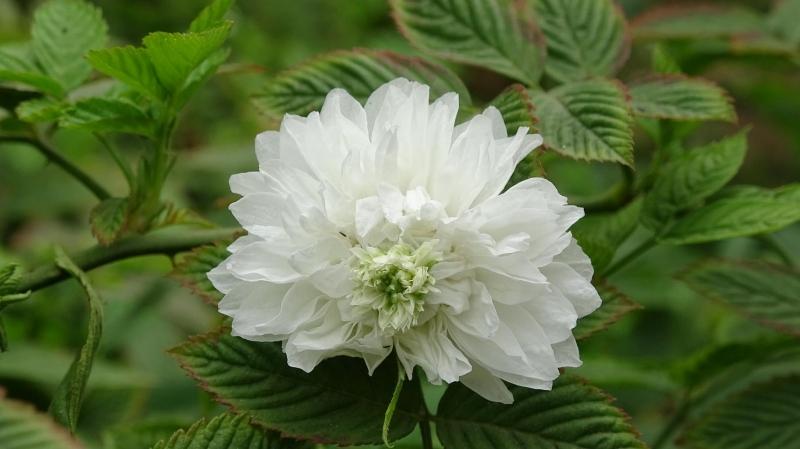 Hoa hồng tầm xuân Bắc rất quý hiếm và cần được bảo tồn - Nguồn: Internet