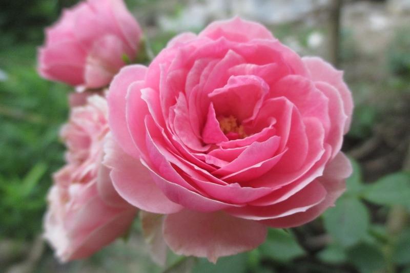Mượn hoa hồng nói lên lời thi nhân