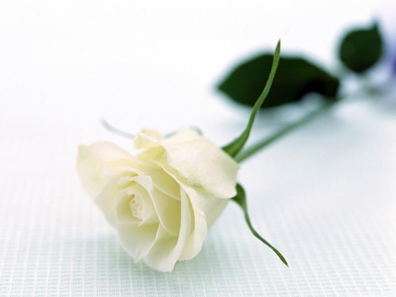 Hoa hồng là loài hoa mang nhiều thông điệp ý nghĩa