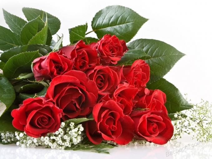 Hoa hồng phớt tượng trưng cho tình yêu mới chớm nở