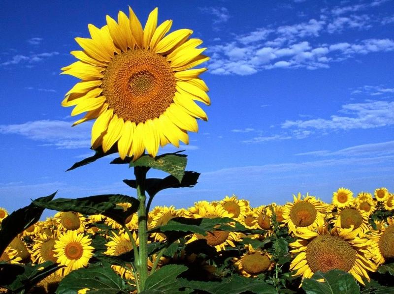 Hoa hướng dương vươn lên đón ánh mặt trời
