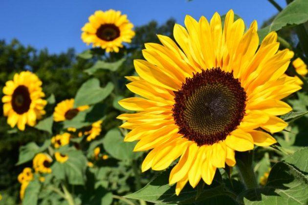 Hoa hướng dương tượng trưng cho sự đáng yêu, trung thành và trường thọ