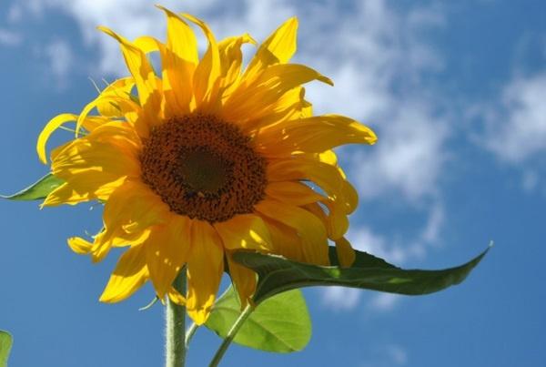 Hoa hướng dương ( bắt đầu chuyển dạ nên sử dụng luôn ):