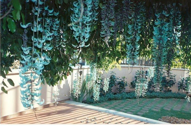 Hoa Jade Vine (hoa móng cọp)