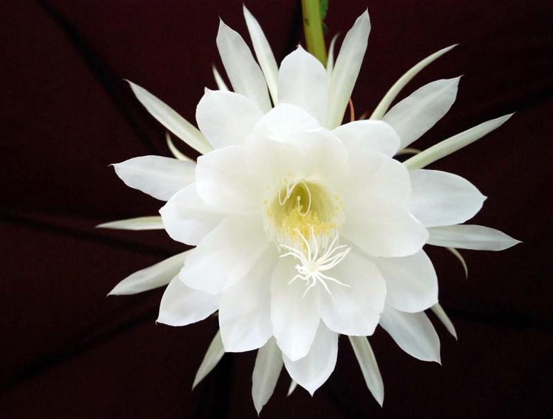 Top 10 Loài hoa đẹp và đắt nhất thế giới