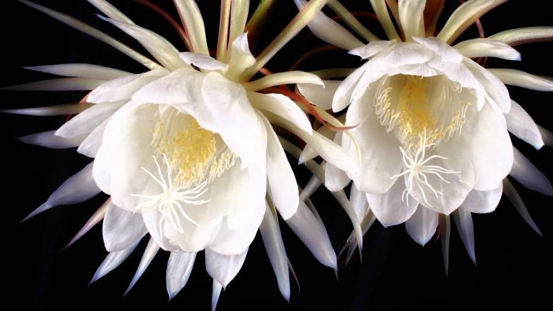 Hoa Kadupul là một trong những loài hoa đẹp và quý hiếm nhất thế giới